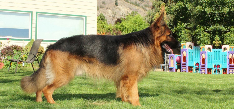 My King Shepherd Dogs